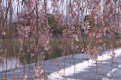Riverside weeping cherry. Pink cherry and river in Kyoto arashiyama Stock Image