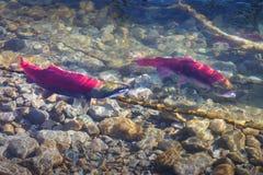 Rivière d'Adams, engendrant des saumons de saumon rouge photo libre de droits