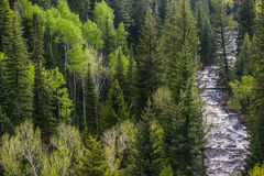 Rivière dans les pins Photos libres de droits
