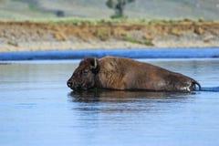 Rivière de croisement de bison en Lamar Valley, parc national de Yellowstone, image libre de droits