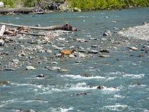 Rivière de croisement de cerfs communs Photographie stock