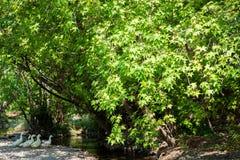 Rivière de montagne traversant la forêt anatolienne verte d'orientalis de Liquidambar de sweetgum Image libre de droits