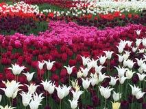 Rivière de tulipes Photo libre de droits