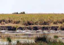 Rivière en Tanzanie avec des hippopotames Images stock