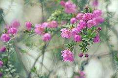 Rivière indigène australienne Rose, rubioides de Bauera photographie stock