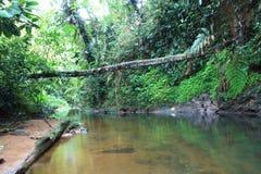 Rivière ou courant tropicale de Brown avec un vegation vert luxuriant et un grand arbre tombé photo libre de droits