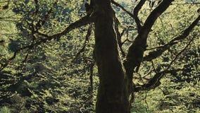 Rivière rugueuse de montagne et vieille forêt d'arbre au printemps, contre le soleil lumineux clips vidéos