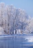 Rivière Talitsa d'Altai avec avec des couples des cygnes et la réflexion de Photographie stock libre de droits