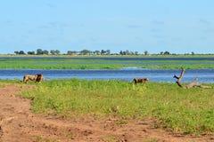 Rivier Chobe, leeuwen, Botswana royalty-vrije stock foto's