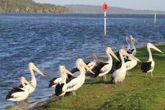 Rivier Denemarken, Westelijk Australië van groeps de wilde Pelikanen Royalty-vrije Stock Afbeeldingen