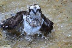 Rivier Hawk Bathing in Ondiep Water stock afbeeldingen