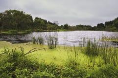 Rivier met gras en eendekroos Stock Afbeelding