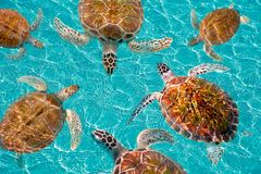 Riviera Maya turtles photomount on Caribbean. Turquoise waters of Mayan Mexico Stock Photo