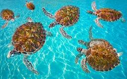 Riviera Maya turtles photomount on Caribbean. Turquoise waters of Mayan Mexico stock photography