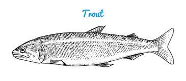 Rivierforel en meervissen Overzeese Schepselen Zoetwateraquarium Zeevruchten voor het menu Gegraveerde die hand in oude wijnoogst stock illustratie