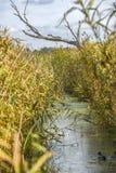 Rivierkanaal door riet in de herfst in Polen wordt omringd dat royalty-vrije stock foto