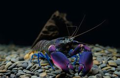 Rivierkreeften Cherax in aquarium royalty-vrije stock afbeeldingen