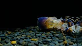 Rivierkreeften in het aquarium stock video