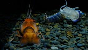 Rivierkreeften in het aquarium stock footage