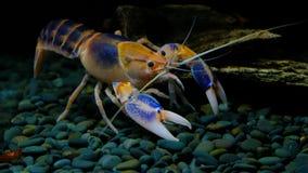 Rivierkreeften in het aquarium stock videobeelden