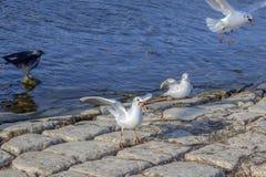 Riviermeeuwen één van hen met prooi in de mond en één raaf in de haven van Ohrid-Meer, Macedonië royalty-vrije stock foto