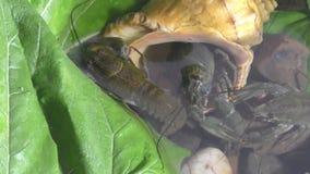 Rivierrivierkreeften in Meer stock videobeelden