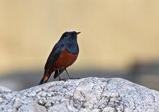 Rivierroodstaart, White-capped Water-Redstart, Chaimarrornis leu. Cocephalus royalty free stock photography