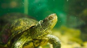 rivierschildpad in een aquarium stock afbeeldingen