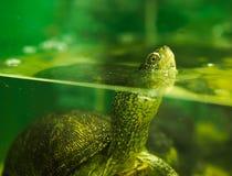 rivierschildpad in een aquarium royalty-vrije stock afbeelding