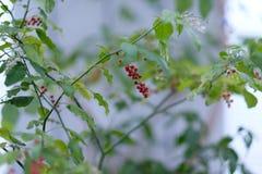 Rivina decorativo da planta com grupos de bagas vermelhas foto de stock royalty free