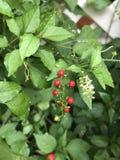Rivina humilis or Bloodberry. Stock Photos