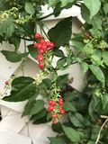 Rivina humilis or Bloodberry. Royalty Free Stock Photography