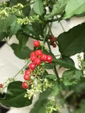 Rivina humilis or Bloodberry. Royalty Free Stock Photos