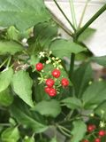 Rivina humilis or Bloodberry. Royalty Free Stock Images