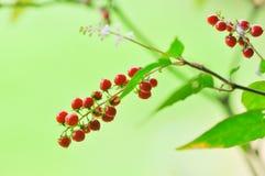 Rivina humilis L , PHYTOLACCACEAE, Szorstka roślina, Krwionośna jagoda, Co Obrazy Royalty Free