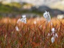 Rivolti il fieno nel vento a lofoten, la Norvegia fotografia stock