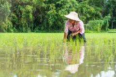 Riz croissant d'agricultrice supérieure dans le domaine photographie stock libre de droits