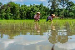 Riz croissant d'agricultrice supérieure dans le domaine images stock