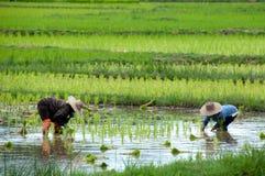 Riz croissant de femme asiatique Image libre de droits