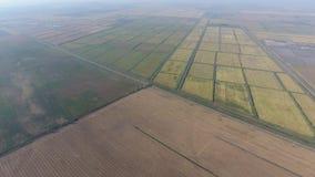 Riz croissant sur les champs inondés Riz mûr dans le domaine, le début de la moisson une vue de s-oeil de ` d'oiseau banque de vidéos