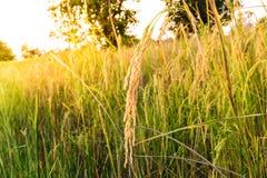 Riz d'or de transitoire photo stock