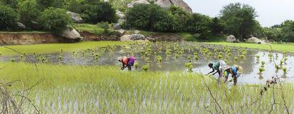 Riz d'usine de trois femmes dans le paddy Image stock