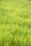 Riz dans Bali Images stock