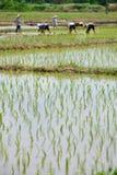 Riz dans la plantation travaillante de ferme et d'agriculteur Images libres de droits