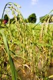 Riz dans le domaine, Thaïlande Images stock