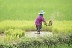 Riz de greffe d'agriculteurs dans un domaine en Thaïlande Image stock