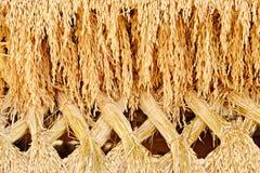 Riz de jasmin de paddy Photographie stock libre de droits