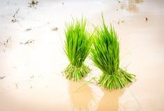 Riz de jeunes plantes Photo libre de droits