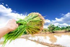 Riz de jeunes plantes Image libre de droits
