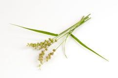 Riz de jungle, riz d'oiseaux (colona d'échinochloa (L ) Lien) Photo libre de droits